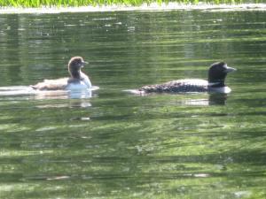 Loons I saw while kayaking.