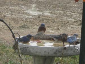 bluebirds at birdbath 001 (5)